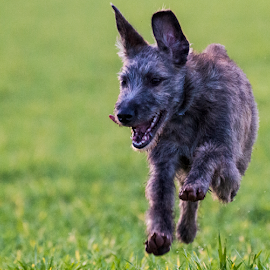 by Paul Scullion - Animals - Dogs Running ( playing, field, puppies, pupy, fun, dog, young, running, lurcher )