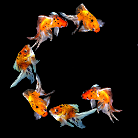 Goldfish G by Janna Morrison - Typography Single Letters ( fish g )