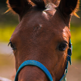 Stern by Diana Uskova - Animals Horses ( diana uskovaphotography, animals, horse, castrop-rauxel )