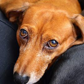 by Jeff Fox - Animals - Dogs Portraits
