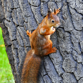 squirrel by Leif Holmberg - Animals Other ( climbing, funny, finland, turku, squirrel )