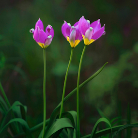 Three by Dejan Gavrilovic - Flowers Flowers in the Wild ( flowers violet yellow,  )