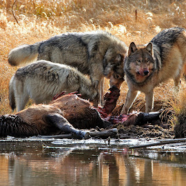 Canyon Wolf Pack on Elk Kill by Michael Waller - Animals Other Mammals (  )