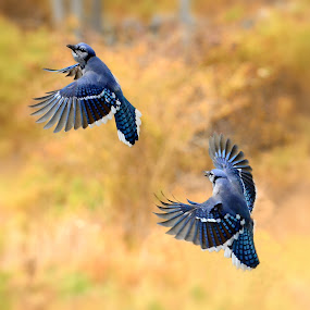 The Dance by Liz Crono - Animals Birds ( flight, animals, blue jays, dance, birds )