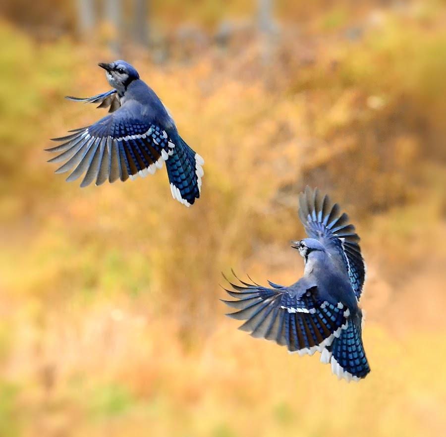 The Dance by Liz Crono - Animals Birds ( flight, animals, blue jays, dance, birds )