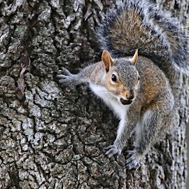 Curious squirrel with nut by Sandy Scott - Animals Other Mammals ( mammals, squirrel with nut, tree dwellers, small mammals, squirrel,  )