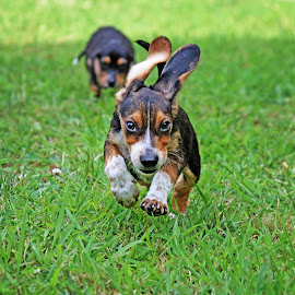 Barnabus' flying ears! by Liv Hooker - Animals - Dogs Running ( puppies, barnabus and collin, puppy, beagle )
