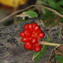 Jack-in-the-Pulpit Fruit