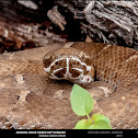 Arizona Ridge-Nosed Rattlesnake