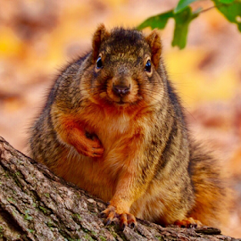 Cute little guy by Brock Willis - Animals Other Mammals ( love, indiana, nature, tree, fall, like, cute, squirrel, animal )