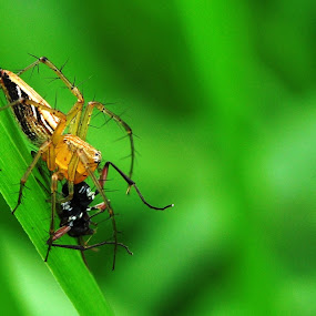 Jump spider by Syarief Wiranegara - Animals Insects & Spiders