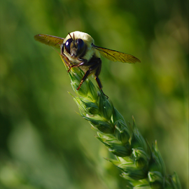 Bee with Wheat by Doug & Coleen Walkey - Animals Insects & Spiders ( wheat, macro, bee, summer, head )