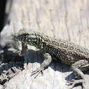 Side-blotched Lizard