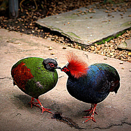 I like you too!   by Dale Carney - Animals Birds ( kissing, colorful, zoos, birds,  )