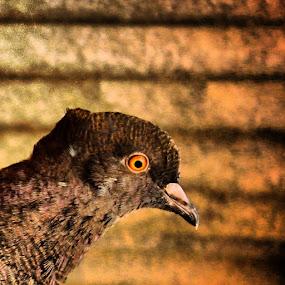 by Shiful Riyadh - Animals Birds ( eye, color, bird, mobile photography, instagram, pigeons, live,  )