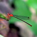 Risiocnemis Damselfly (Female)