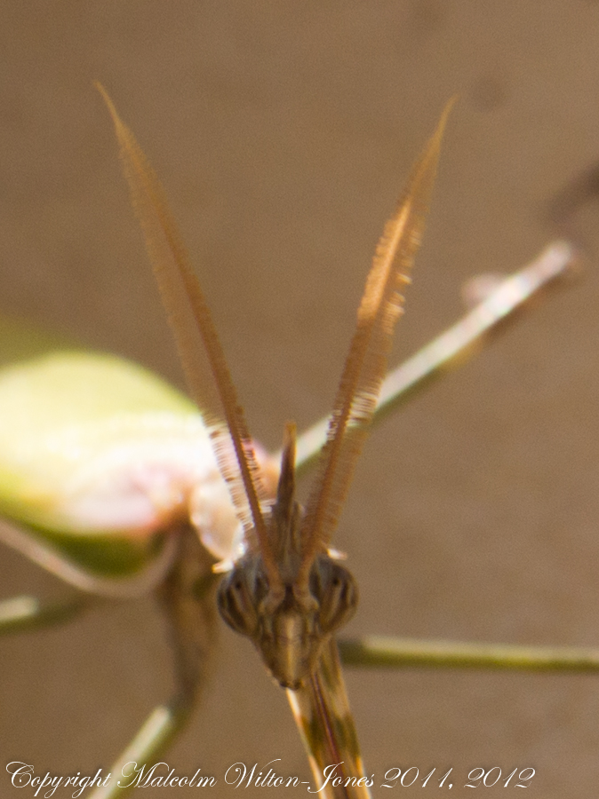 Cone-headed Mantis; Mantis Palo