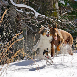 First snow by Marilyn Bernstein - Animals - Dogs Running ( dogs, doggies, snow, dogs playing, dogs running, dogs in the snow )