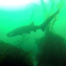 Sevengill Shark Sightings