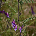 Unknown Vetch