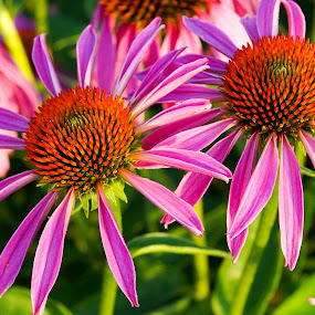 Pretty purple coneflowers by Janice Poole - Flowers Flower Gardens ( macro, purple, coneflower, flowers, garden, colorful, mood factory, vibrant, happiness, January, moods, emotions, inspiration,  )