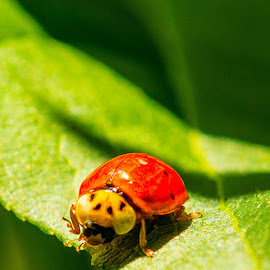 Hungry Ladybug? by Michael Stefanich Jr. - Animals Insects & Spiders ( #beetle, #, #ladybug, #insect, #macro,  )