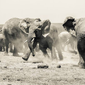 Addo Elephant Park  by Monique Fouche - Animals Other