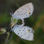 Western Tailed-Blue (mating)