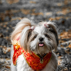 VINNY IN CHINESE TRADISONAL DRESS by Andy Teoh - Animals - Dogs Portraits ( dogs, vinny, portrait, animal, andyteoh photography )