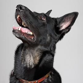 Black beauty by Mia Ikonen - Animals - Dogs Portraits ( intelligent, beautiful, finland, german shepherd, black )