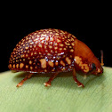 Dotted-lines Leaf Beetle