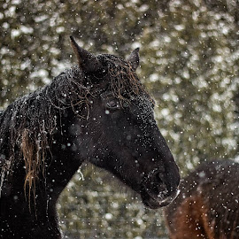 Black snow by Debasmit Banerjee - Animals Horses (  )