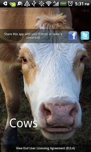 Cows Photo Book