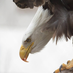 Bald Eagle by David Montemayor - Animals Birds ( bird, america, patriotic, bald eagle, usa,  )