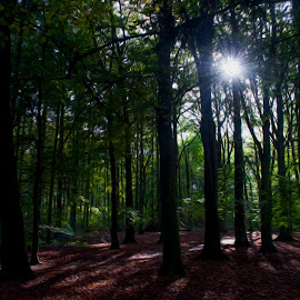 Sunlight in the woods by Ruth Holt - Digital Art Places ( bright, trees, woodland, forest, sunlight, woods )