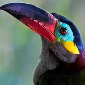Guianan Toucan by Renos Hadjikyriacou - Animals Birds ( animals, toucan, birds, , colorful, mood factory, vibrant, happiness, January, moods, emotions, inspiration )