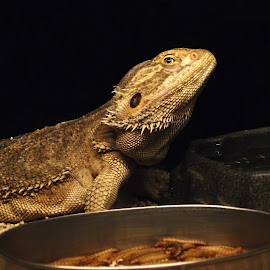 The bearded one by Wei Qing - Animals Reptiles ( reptiles, lizard, scales, texture, iguana, reptile, animal,  )