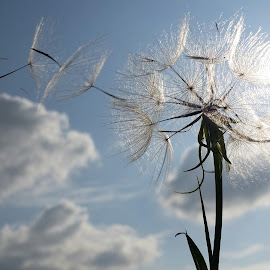 Blowing in the wind by Adèl Roothman - Nature Up Close Other plants ( blowing, wind, nature up close, sunshine, seeds )