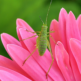 Green Bug On A Daisy by Ed Hanson - Animals Insects & Spiders ( nature, green, bug, pink, flower )