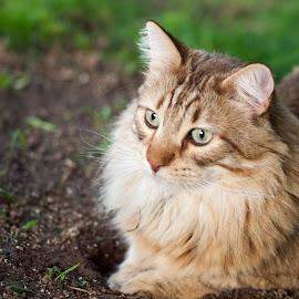 Simba by Lisa Scheffler - Animals - Cats Portraits ( cats, orange, pet, simba, portrait,  )