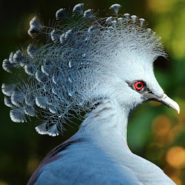 Funky Head by Naresh Balaguru - Animals Birds ( bird, pigeon, crown pigeon, bird's eye, eye,  )