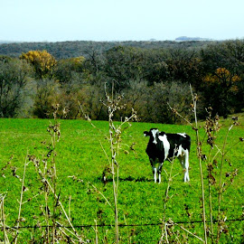 Illinois Pastyre with Cow by Kathy Rose Willis - Landscapes Prairies, Meadows & Fields ( farm, pasture, illinois, nature, black and white, green, trees, cow,  )