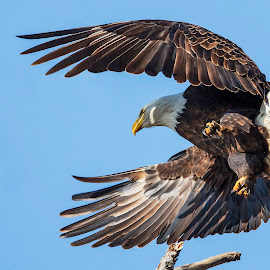 by James Eveland - Animals Birds ( bird of prey, nature, bald eagle, birds, raptors )