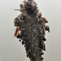 Bagworm case moth