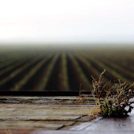 Morning Crops by Elise Graham - Landscapes Prairies, Meadows & Fields ( field, kumara, crops, perspective, mist,  )