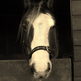 Milly by Elaine Carty - Animals Horses ( sepia, pony, head collar, horse, beautiful, cob cross, door, cute, stable, skewbald, milly, cob, animal, sad eyes,  )