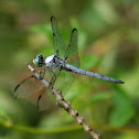 Great Blue Skimmer Dragonfly