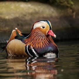 Calm by Garry Chisholm - Animals Birds ( bird, garry chisholm, nature, mandarin, duck, wildlife )