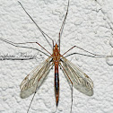 Tiger Crane Fly parasitized