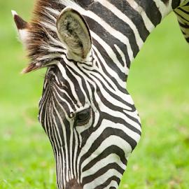 Zebras by Cristobal Garciaferro Rubio - Animals Other Mammals ( strips, strip, zebra )